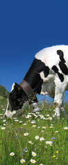 The cow chewing camomiles on the Alpine meadow