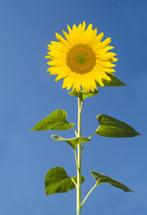 beautiful sunflower in front of blue sky