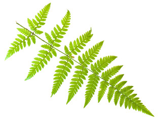 Single green fern leaf against the white background