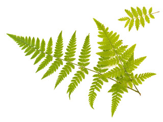 Green fern and ash leaves against the white background