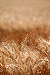 Ripe Wheat Detail With Extreme Selective Focus