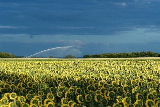 Campo de girasoles cerca de Angouleme (France)