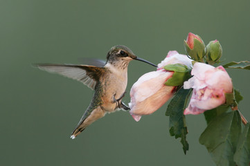 Fotoväggar - Hungry Ruby-throated Hummingbird (archilochus colubris)