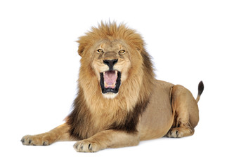 Printed roller blinds Lion Lion in front of a white background