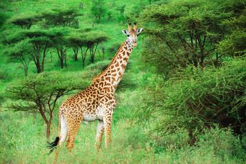 alone giraffe amongst acacia bush