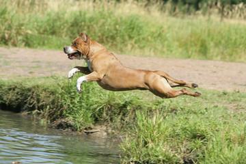 Molosse qui saute dans l'eau