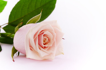 Pink tender rose upon white background