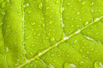 Green leaf with water droplets macro