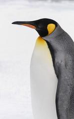 The King Penguin (Aptenodytes patagonicus)