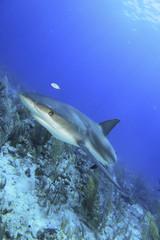 Reef Shark 2