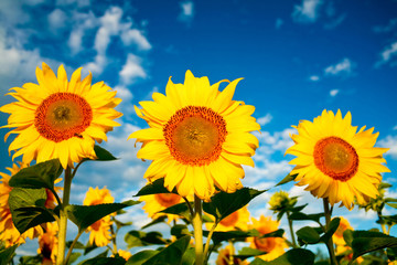 Bright yellow sunflowers on a background of the sky
