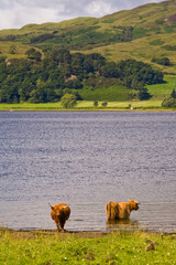 Highland cattle relaxing in a Scottish loch