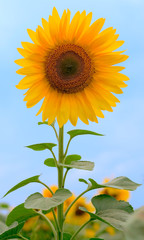 Beauty sunflower on sky background
