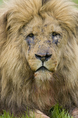 Close up head shot of male lion