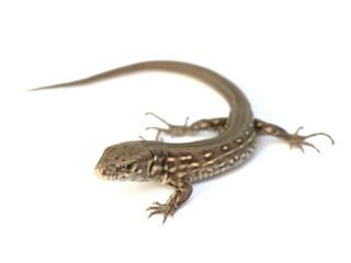 young lizard - Lacerta agilis