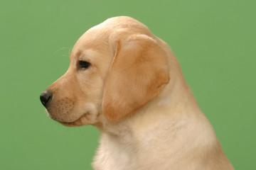 profil gauche d'un petit labrador