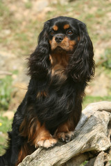 cavalier king charles pose royale