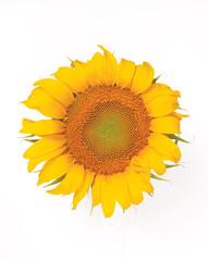Yellow sunflower on white background, islolated