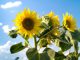 beautiful sunflowers in a sunny day with a blue sky