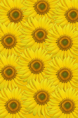 Yellow sunflowers closeup. High resolution background.