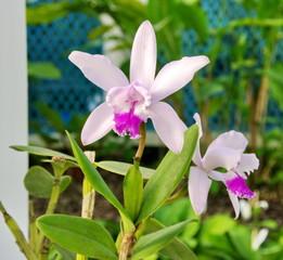 Orchidées blanches et rouges