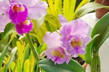 Orchidées fuchsia, Jardin de Rio de Janeiro, Brésil.