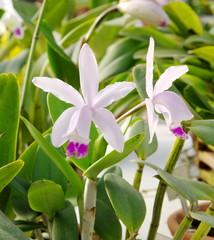 Orchidées blanches et rouges.