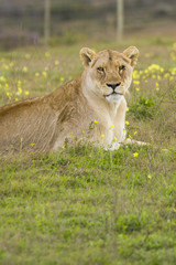 A lone lioness resting on the grass, looking at the camera.