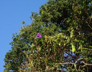 Fleur rose dans un arbre, Brésil.