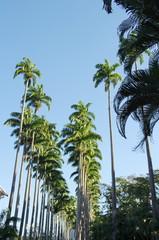 Alignement de cocotiers, Brésil.