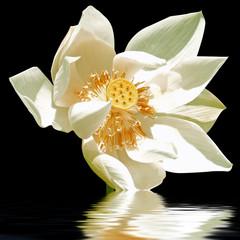 tige de lotus sur l'eau