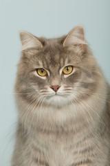 Portait de chat sibérien en studio