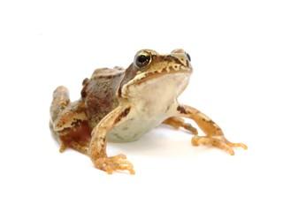 Young grass frog - Rana temporaria