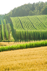 A field of hops in late summer, ready to be harvested.