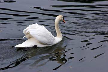 white mute swan swims across the lagoon