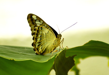 Clipper Butterfly  Under wing on  banana leaf