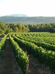 vignes de raisins provence