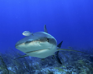 Shark head-on