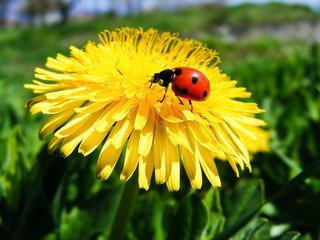 Dandelion with ladybird