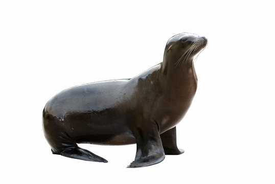 Wet sealion isolated on a white background
