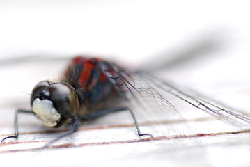 macro shoot of a dragon fly