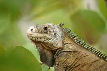 Reptile - Iguane