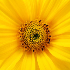 A photography of a big yellow flower