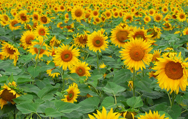 Background from a field of bright yellow sunflowers.