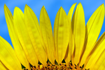 Beautiful flower of sunflower