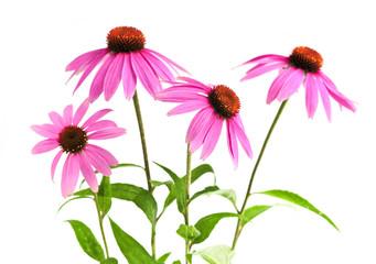 Blooming medicinal herb echinacea purpurea or coneflower