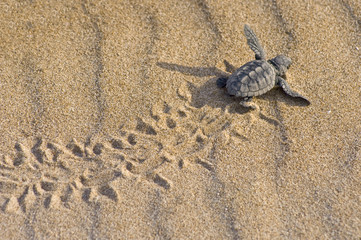 Cría de tortuga boba (Caretta caretta)