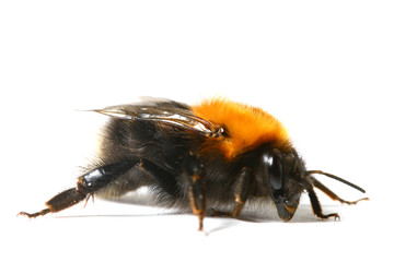 dance aerobic bumble bee isolated on white background