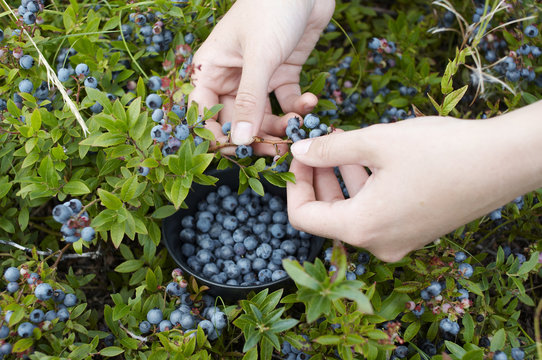 womans hands picking blue berries with a bowl