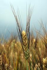 corn field wheat